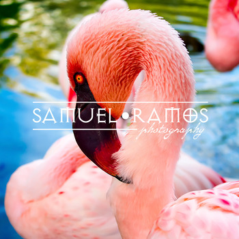 STOCK PHOTOS: Zoo Flamingo [Personal & Commercial Use]