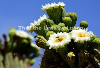 Saguaro Cactus Blooms and Bees Stock Photo #108
