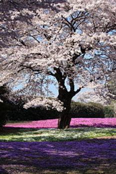 Sakura - Traditional Japanese Song