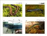 Salamander Classification & Dichotomous Key