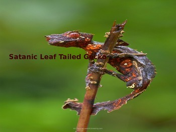 Satanic Leaf Tailed Gecko - Power Point - Information Facts Pictures