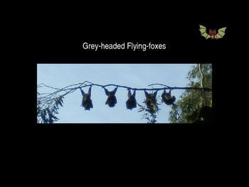 Science - Flying foxes - life cycle