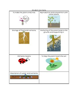 Science Graphic Organizer: Functions of Roots in Plants