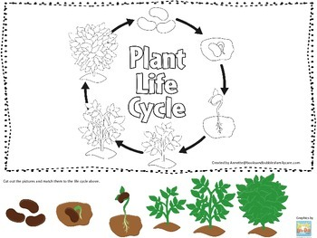Science Life Cycle of a Plant Picture Matching preschool homeschool game.