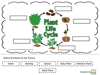 Science Life Cycle of a Plant Match Name to Picture preschool homeschool game.