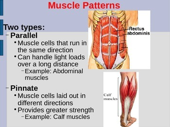 Muscle Structure PowerPoint (Anatomy Unit: Muscular System PowerPoint)