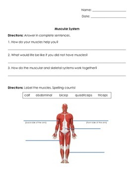 Anatomy/Human Body Systems: Muscular System Test/ Quiz/ Worksheet