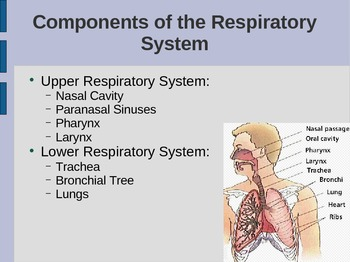 The Respiratory System PowerPoint - Science: Anatomy