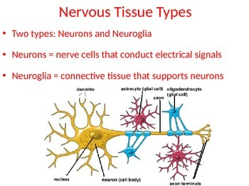 Nerves PowerPoint: Structure and Function - Science: Anatomy / Health