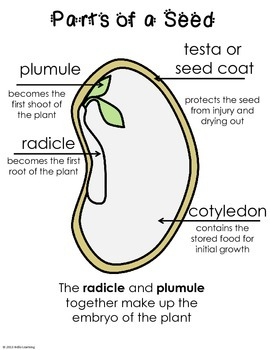 Scientific Method and Seeds- seed parts, germination, tropism and variables