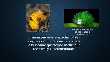 Sea Bunny Information On This Cute Member Of The Sea Slug Family