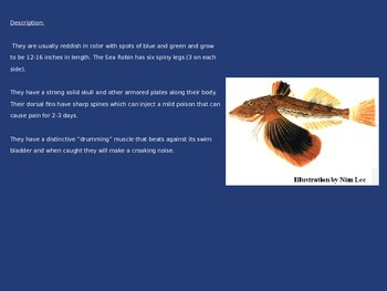 Sea Robin - Power Point - Fish Rhode Island Information Facts Pictures