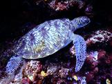 Sea Turtle Digital Puzzle VIPKID