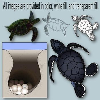 Sea Turtle Life Cycle Clip Art