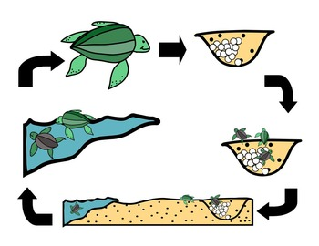 Sea Turtle Life Cycle Clip Art (Commercial Use)