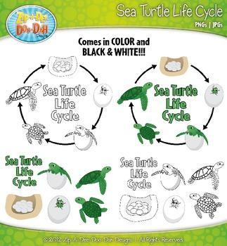 Sea Turtle Life Cycle ...