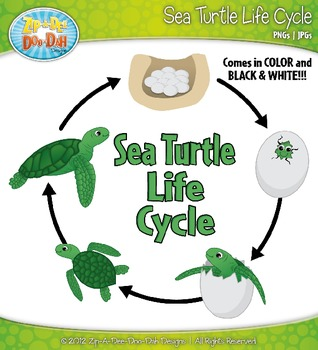 Sea Turtle Life Cycle Clipart Set — Comes In Color and Bla