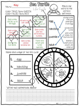 Sea Turtle Life Cycle Interactive Reading Passage and Comprehension Worksheet