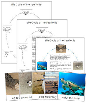 Sea Turtle Life Cycle Nomenclature Cards and Charts