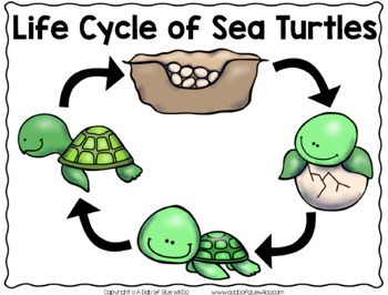 Sea Turtles: An Animal Study