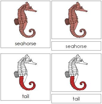 Seahorse Nomenclature Cards (Red)