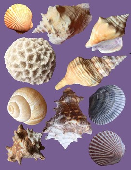 Seashells - Photographic Clip Art - Realistic