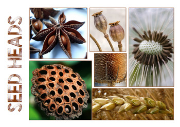 Seed Heads - Natural Forms Drawing and Painting Packet