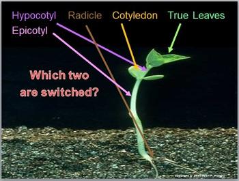 Seeds, Plants, Monocotyledons, Dicotyledons Lesson