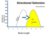 EVOLUTION: Selection graphs POWERPOINT (disruptive, direction, stabilizing)