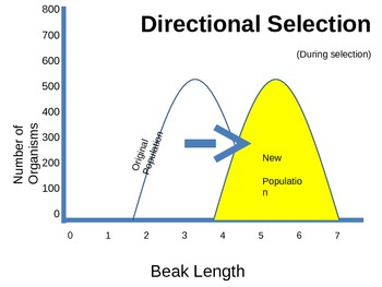 EVOLUTION: Selection graphs POWERPOINT (disruptive, direct