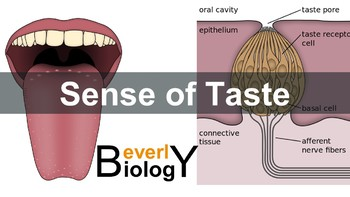 Sense of Taste PowerPoint (free handout included)
