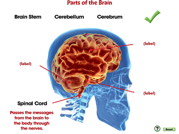 Senses,Nervous & Respiratory Systems: Parts of the Brain - MAC Gr  3-8