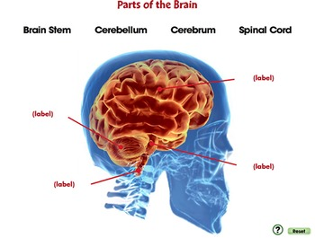 Senses,Nervous & Respiratory Systems: Parts of the Brain - PC Gr. 3-8