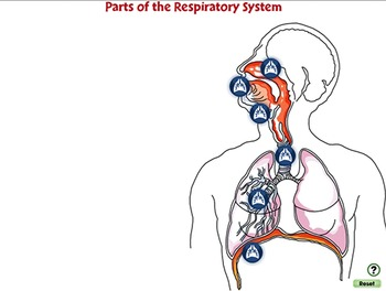 Senses,Nervous & Respiratory Systems: Parts of the Respiratory System PC Gr. 3-8