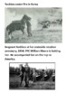 Sergeant Reckless War Horse Handout