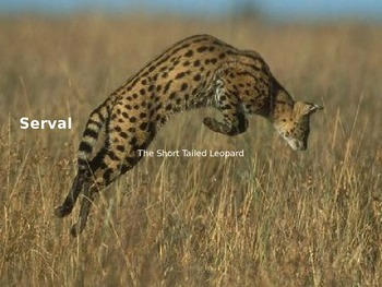 Serval - Power Point Pictures Information Facts Review
