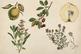 Shabby Fruits & Plants Clipart, Vintage Fruit Plants, Apples, Cherries, Lemons