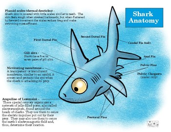 Shark Anatomy Sheet