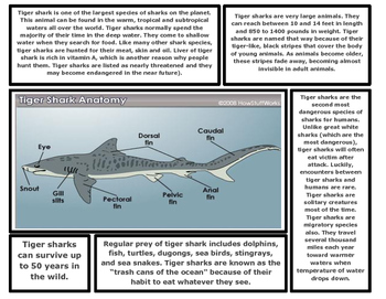 Shark Articles (Great White Shark, Tiger Shark, Hammerhead, Bull Shark)