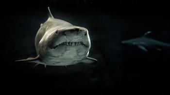Shark Digital Puzzle VIPKID