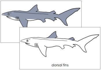 Shark Nomenclature Cards