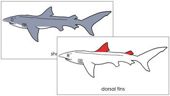 Shark Nomenclature Cards (Red)
