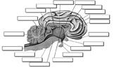 Sheep Brain Dissection Key
