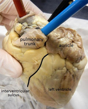 Image result for sheep heart dissection