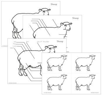 Sheep Nomenclature - Elementary