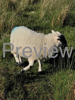Sheep Photo #1