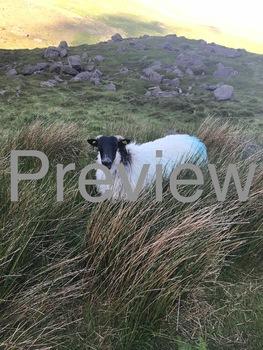 Sheep Photo #3