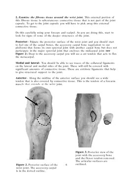 Sheep wrist joint dissection guide