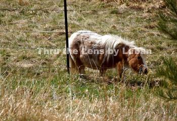 Shetland Pony Stock Photo #113