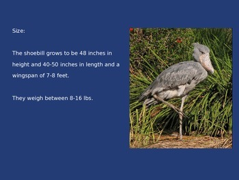 Shoebill Stork - Bird Power Point Information Pictures